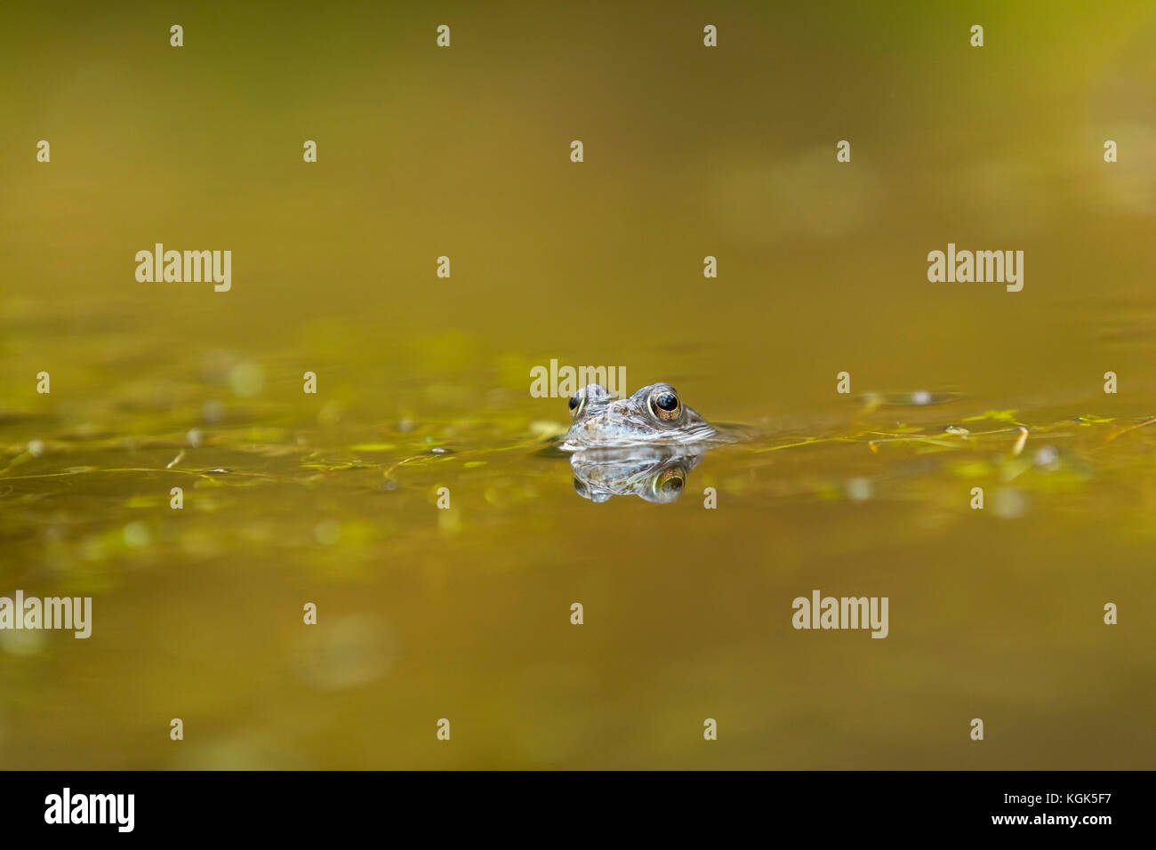 Common Frog; Rana temporaria Single in Pool Falls of Bruar; Scotland; UK - Stock Image