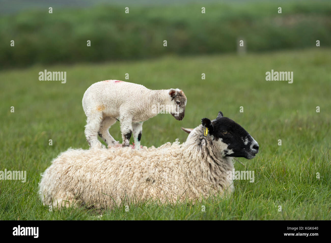 Sheep; Ewe with Lambs; One on her Back Devon; UK - Stock Image
