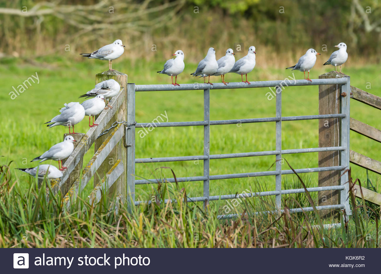 Chroicocephalus ridibundus (Black Headed Gulls) in Winter plumage perching on a fence in a field in Winter in the - Stock Image