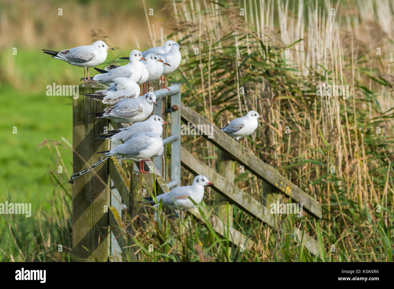 Black Headed Gulls (Chroicocephalus ridibundus) in Winter plumage perched on a fence in a field in Winter in the - Stock Image