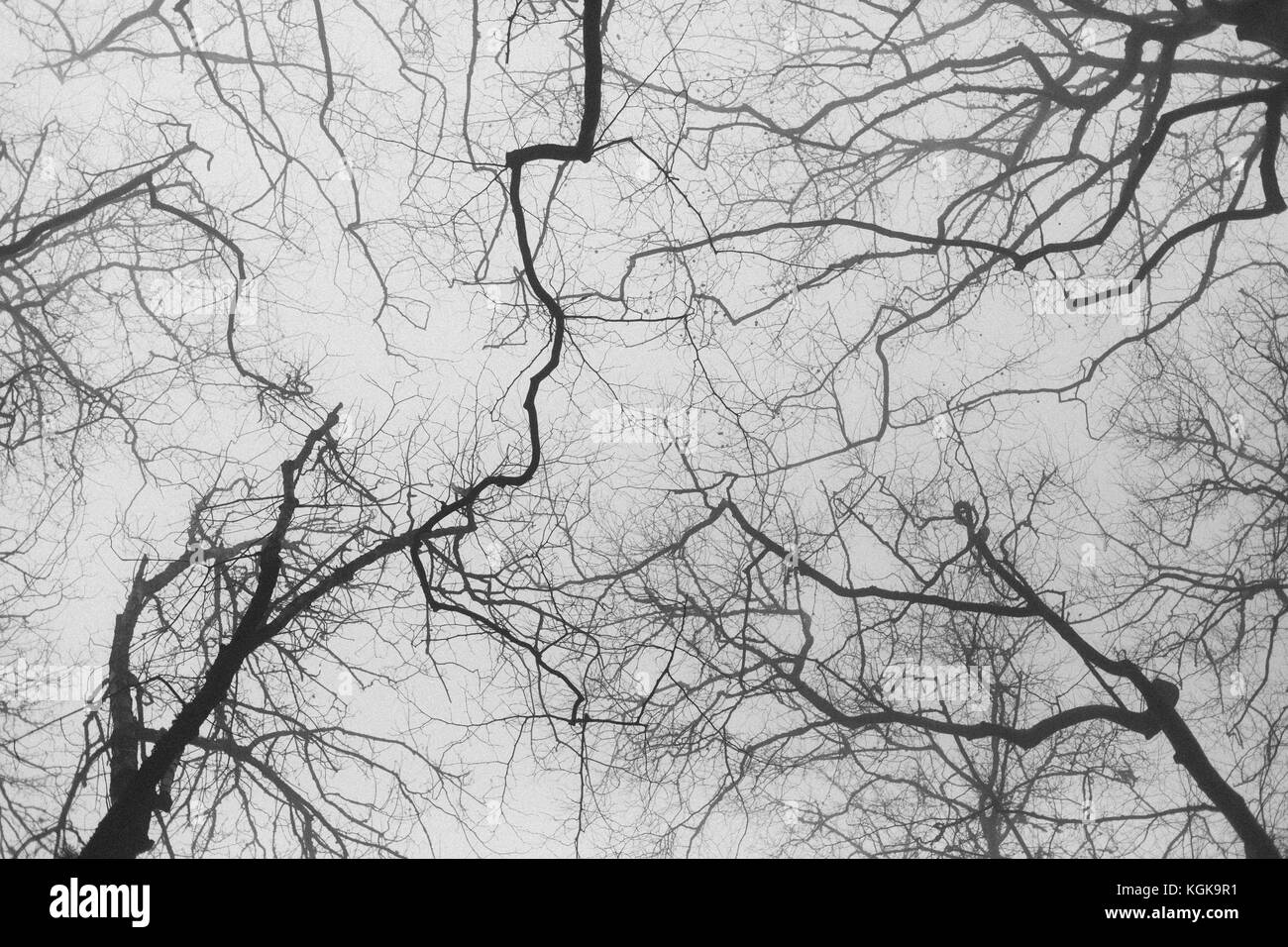Look at winter branches from below at Castelo dos Mouros, Sintra, Portugal. - Stock Image