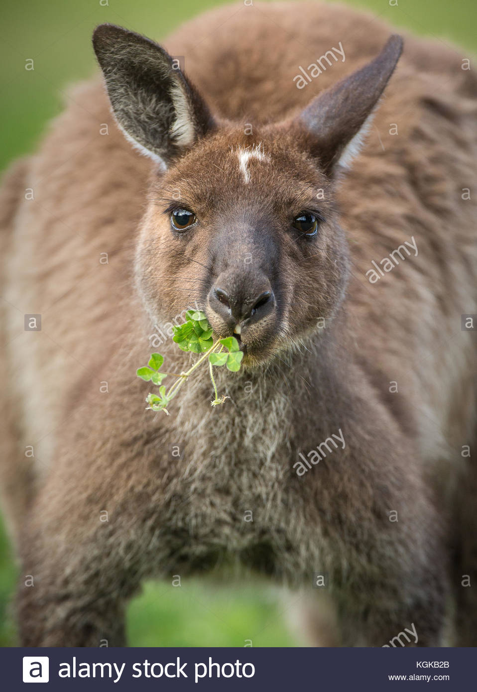 Portrait of a western grey kangaroo, Macropus fuliginosus, with grass in its mouth. - Stock Image