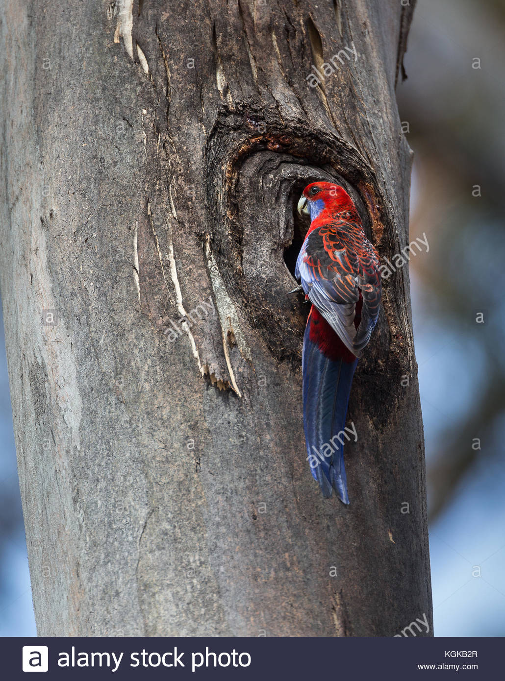 A crimson rosella, Platycercus elegans, at the entrance to its nest in a tree trunk. Stock Photo