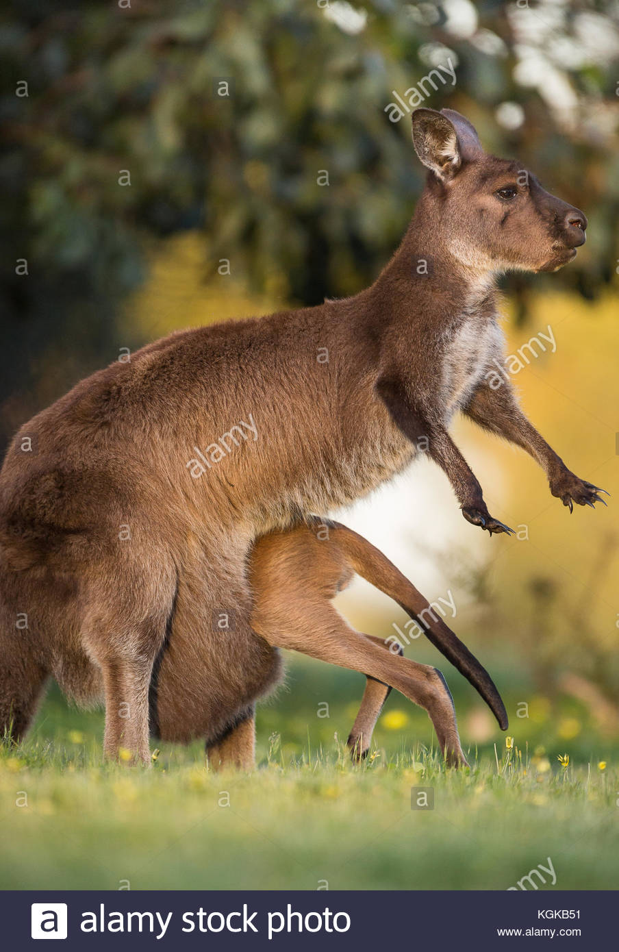 A western grey kangaroo joey going into the pouch, Macropus fuliginosus. - Stock Image