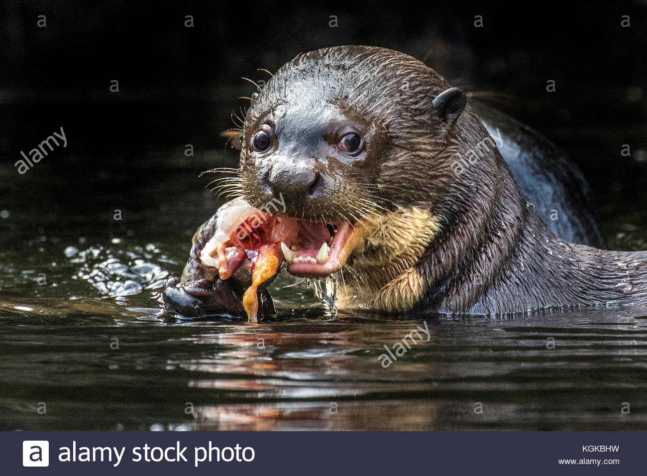 A giant otter or giant river otter, Pteronura brasiliensis, eats a fish. - Stock Image