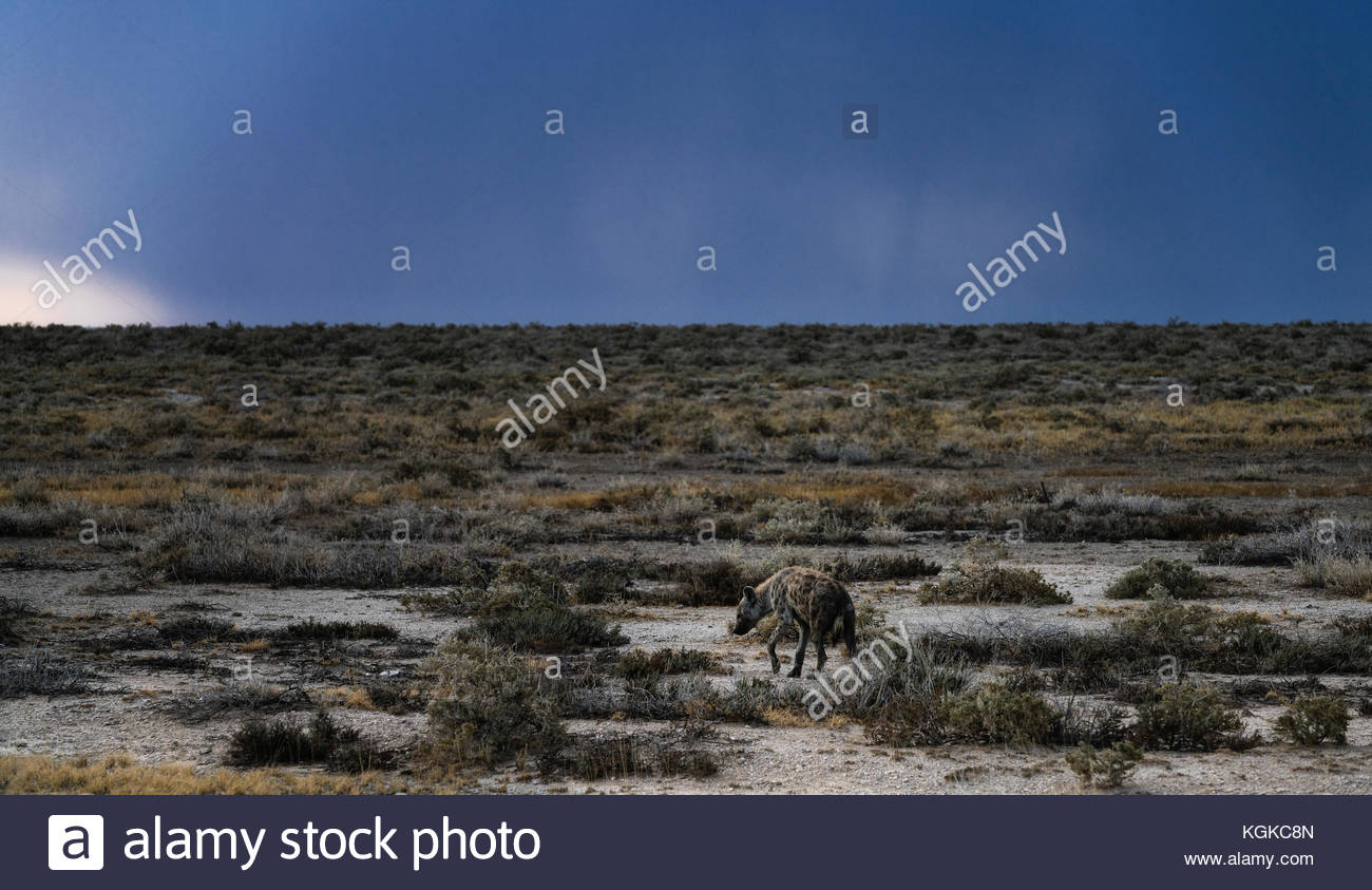 A spotted hyena, Crocuta crocuta, walking in the dry plains before a heavy storm. - Stock Image