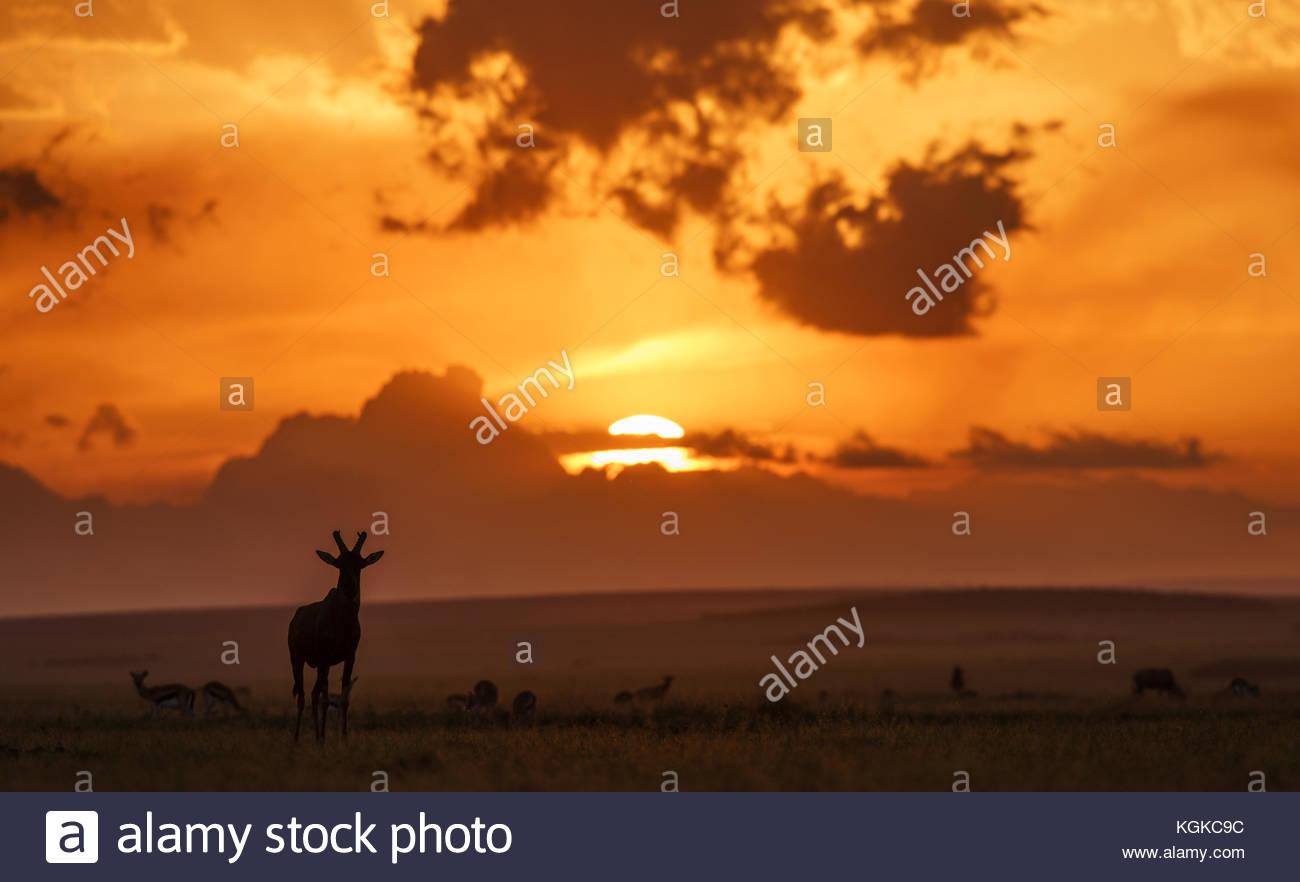Topis at dawn, Damaliscus lunatus, in Masai Mara National Reserve. - Stock Image