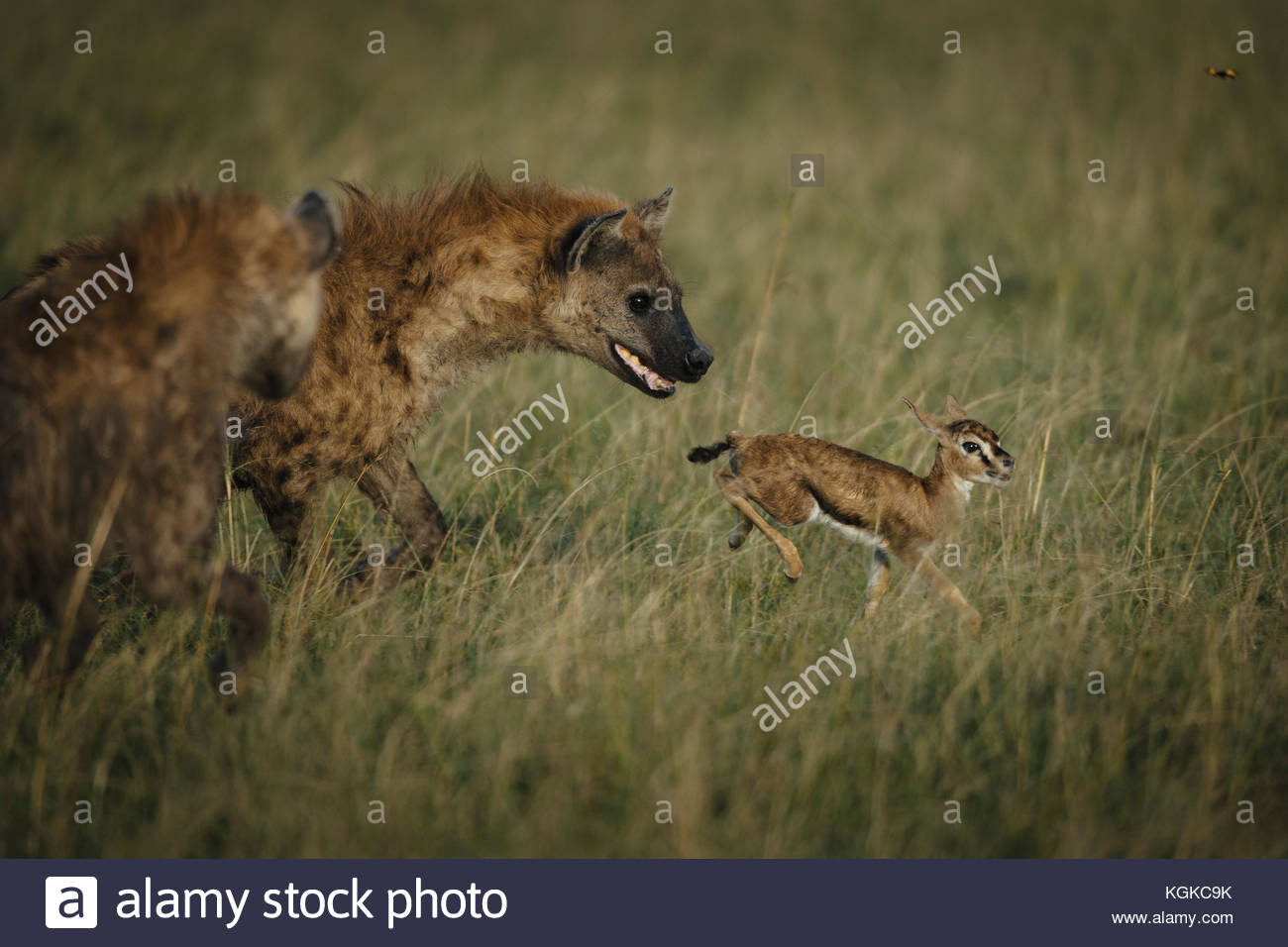 Spotted hyenas, Crocuta crocuta, hunting a newly born Thompson's Gazelle in the Masai Mara Reserve. - Stock Image