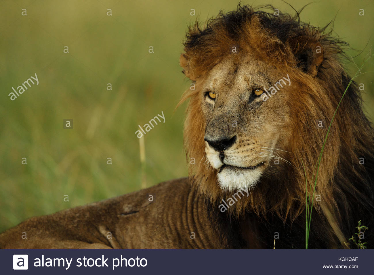 Portrait of a male lion, Panthera leo, in Masai Mara National Reserve. Stock Photo