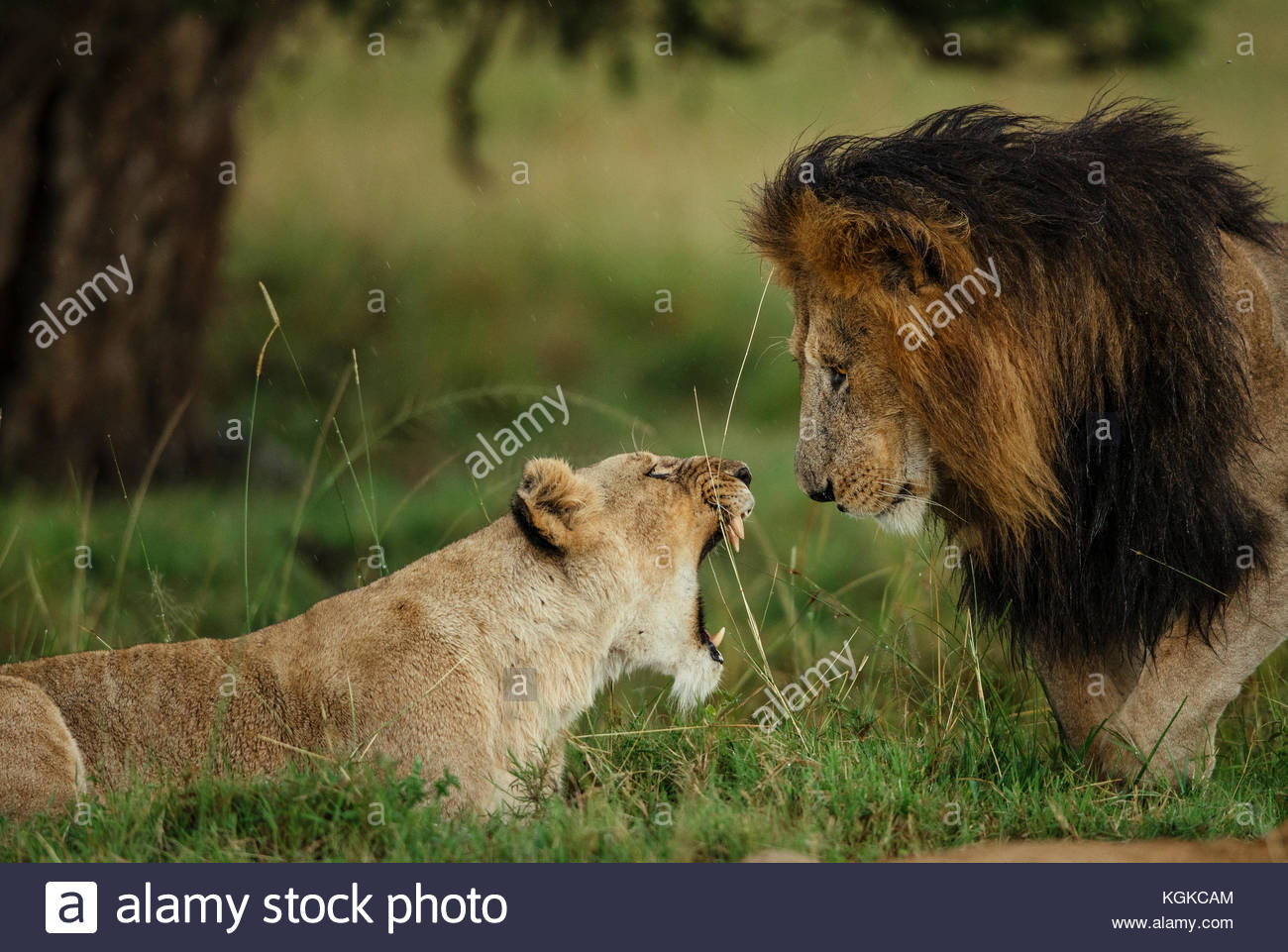 A lioness, Panthera leo,  refuses the advances of the male during a prolonged courtship under a light rain in the - Stock Image