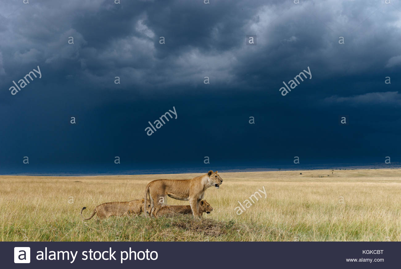 A lion pride, Panthera leo, resting on a hill top, in the Masai Mara National Reserve. - Stock Image