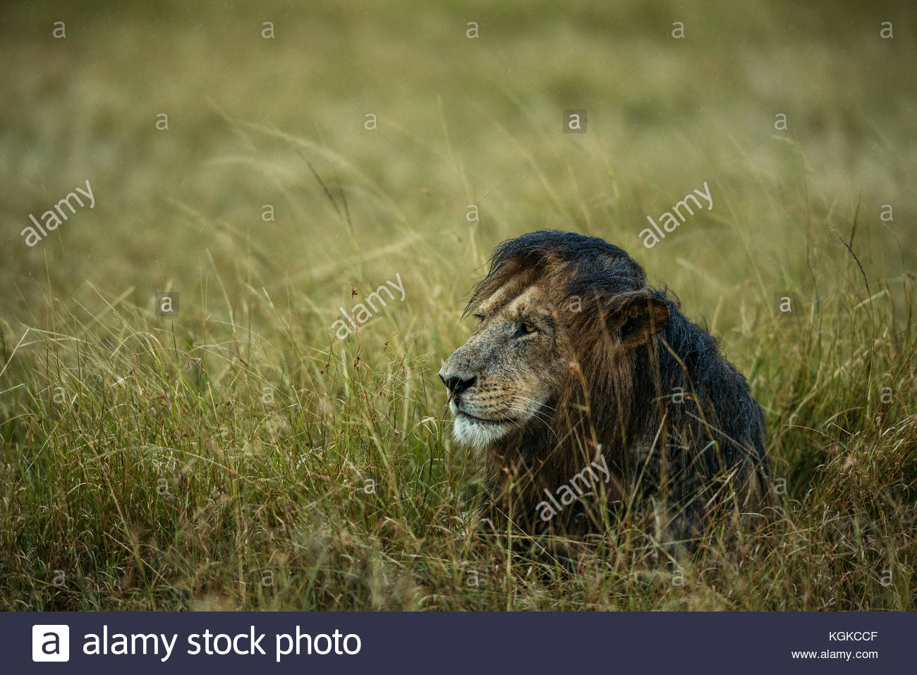 African Lion, Panthera leo, female in rainstorm, in Masai Mara National Reserve. - Stock Image