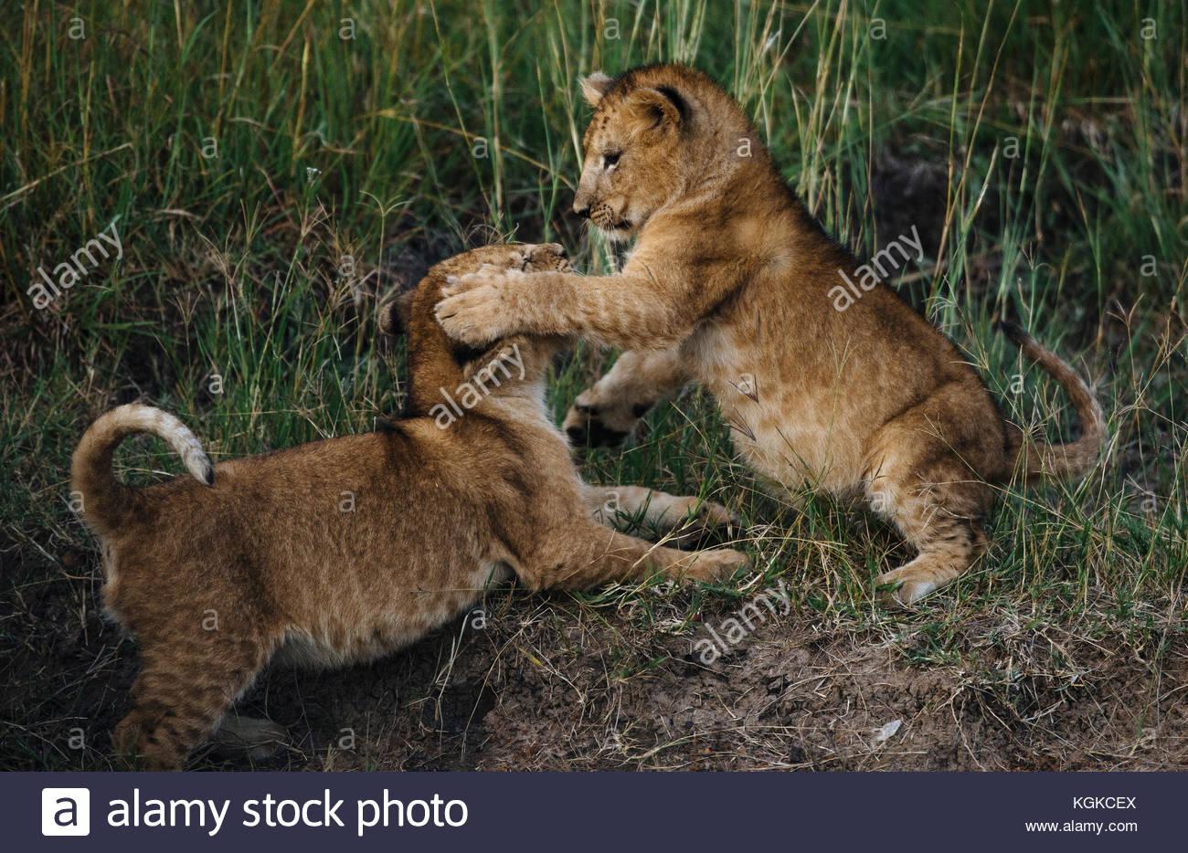 Lion cubs playing, Panthera leo, in Masai Mara National Reserve. - Stock Image