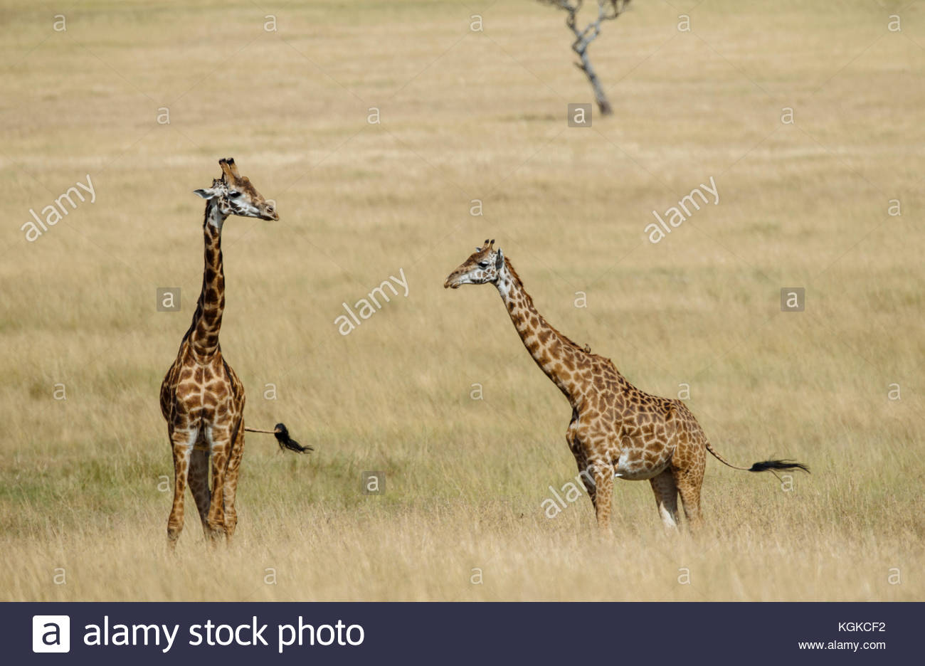 A group of giraffe, Giraffa camelopardalis, walking through tall grass, Masai Mara National Reserve. Stock Photo