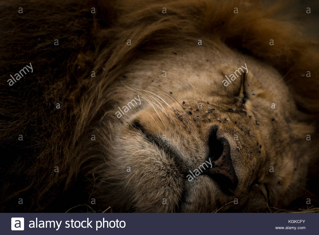 Portrait of a sleepy lion, Panthera leo, in Masai Mara National Reserve. - Stock Image