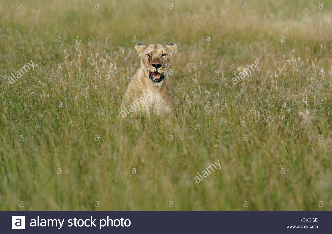 Portrait of a injured lioness, Panthera leo, in tall grass. - Stock Image
