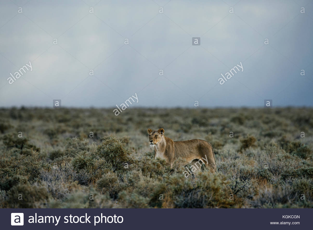 An alert lioness, Panthera leo, walking in the dry bushes. - Stock Image