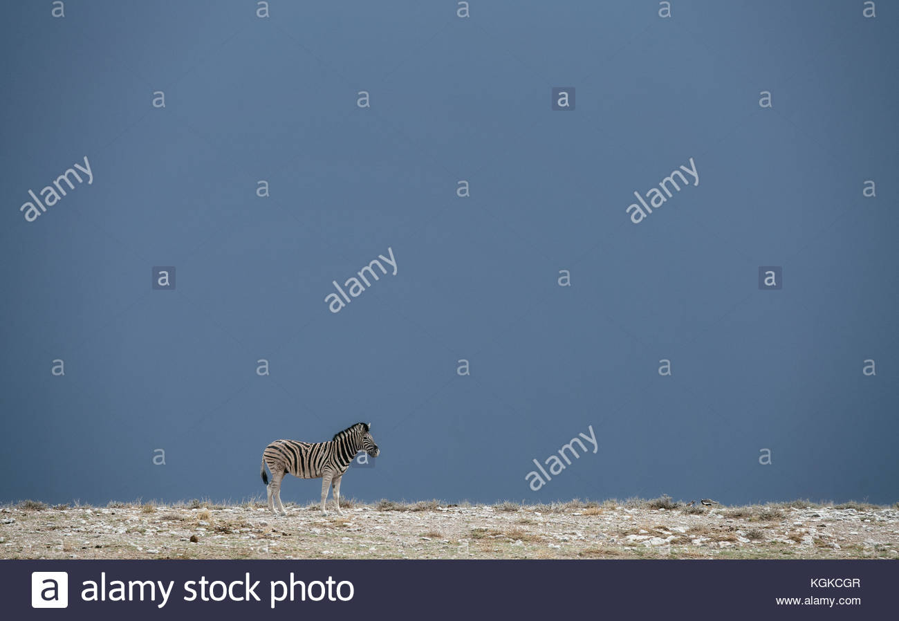 A plains zebras, Equus burchellii, standing before the storm in Etosha National Park. - Stock Image