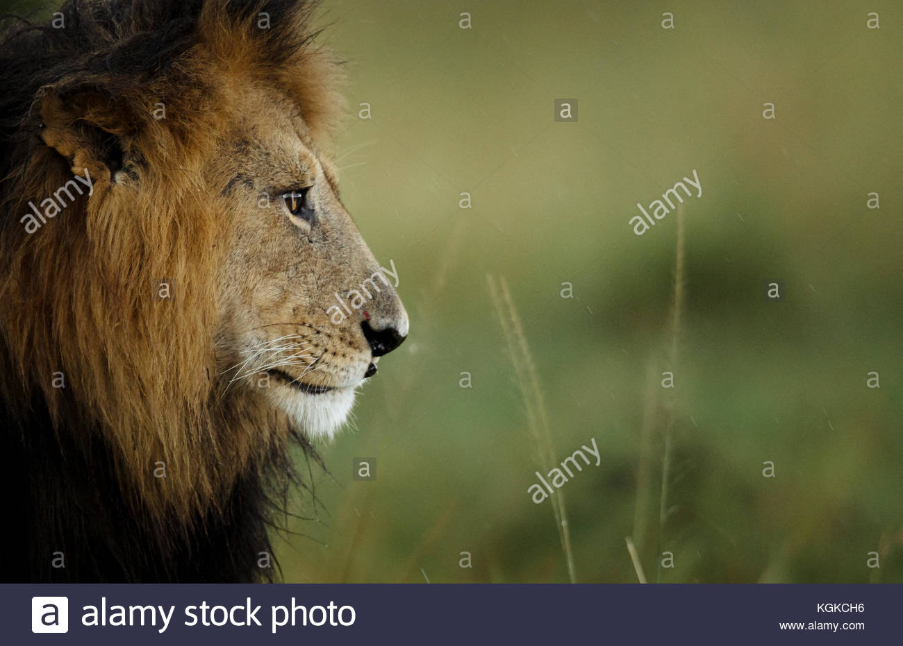 Portrait of a male lion, Panthera leo, in Masai Mara National Reserve. - Stock Image