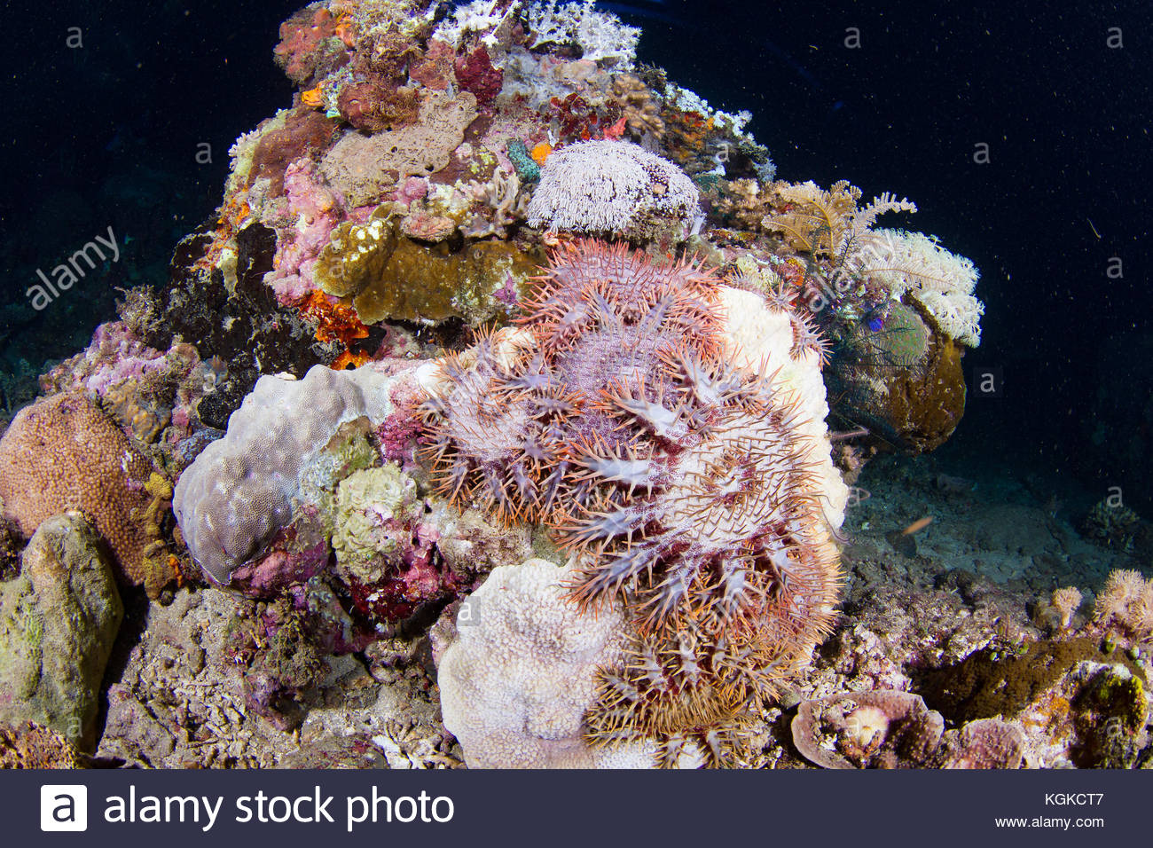 Crown of thorn starfish, Acanthaster planci, feeding on a coral reef at night. - Stock Image
