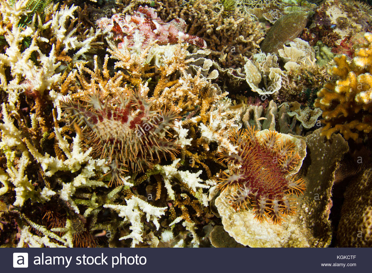 Crown of thorn starfish, Acanthaster planci, emerge from underneath the reef at night, ready to start feeding on - Stock Image