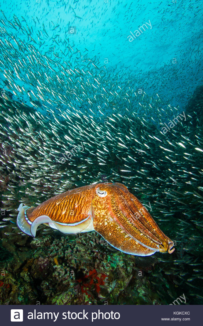 A Paraoh cuttlefish, Sepia pharaonis, hovers over a healthy reef. - Stock Image