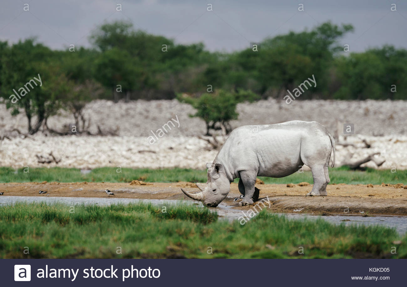 A black rhinoceros or hook-lipped rhinoceros, Diceros bicornis, drinking at a waterhole. - Stock Image