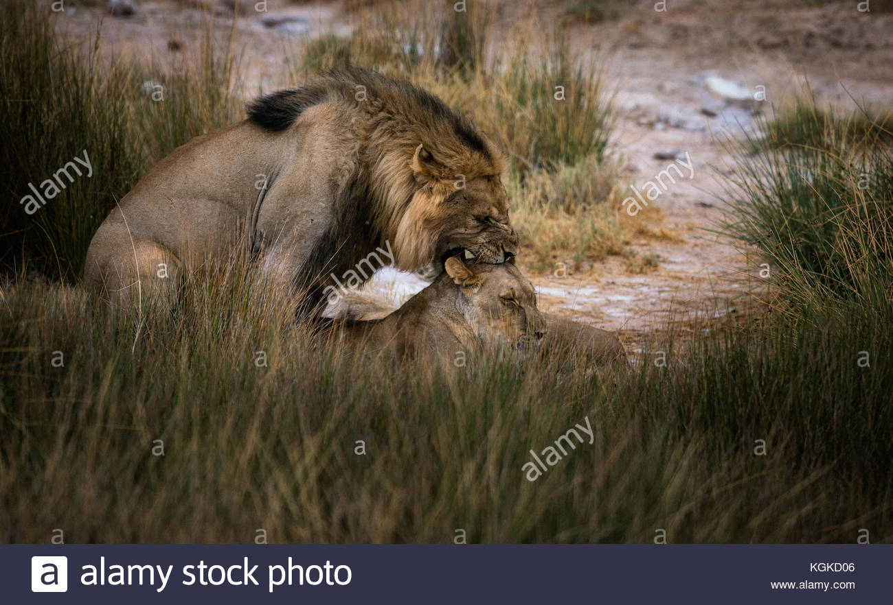 Male lion and lioness, Panthera leo, mating in tall grasses. - Stock Image