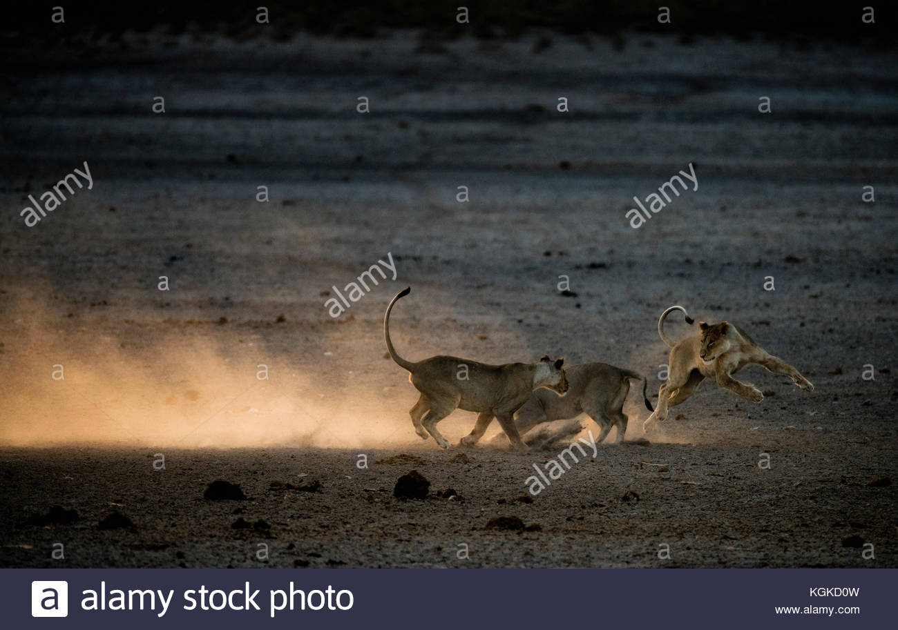Lionesses, Panthera leo, playing early in the morning. - Stock Image