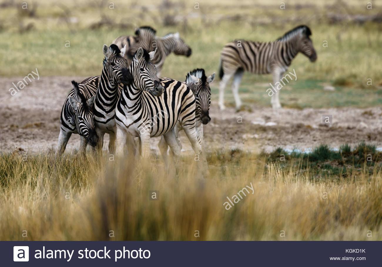 A group of alert plains zebras, Equus burchellii, at a waterhole. Stock Photo