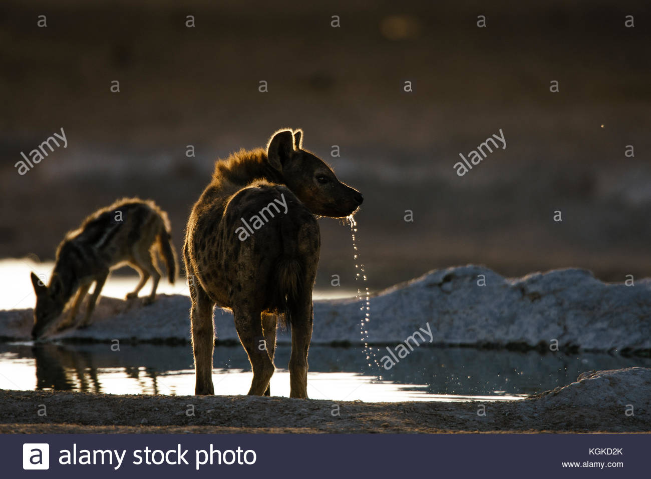 A Spotted hyena, Crocuta crocuta, drinking at a waterhole early in the morning. - Stock Image