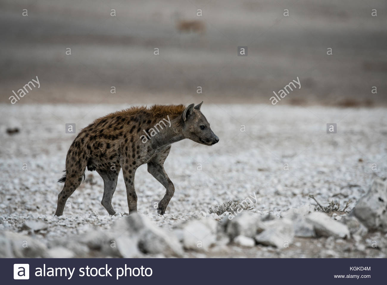 A spotted hyenas, Crocuta crocuta, walking in the dry plain of the Etosha National Park. - Stock Image