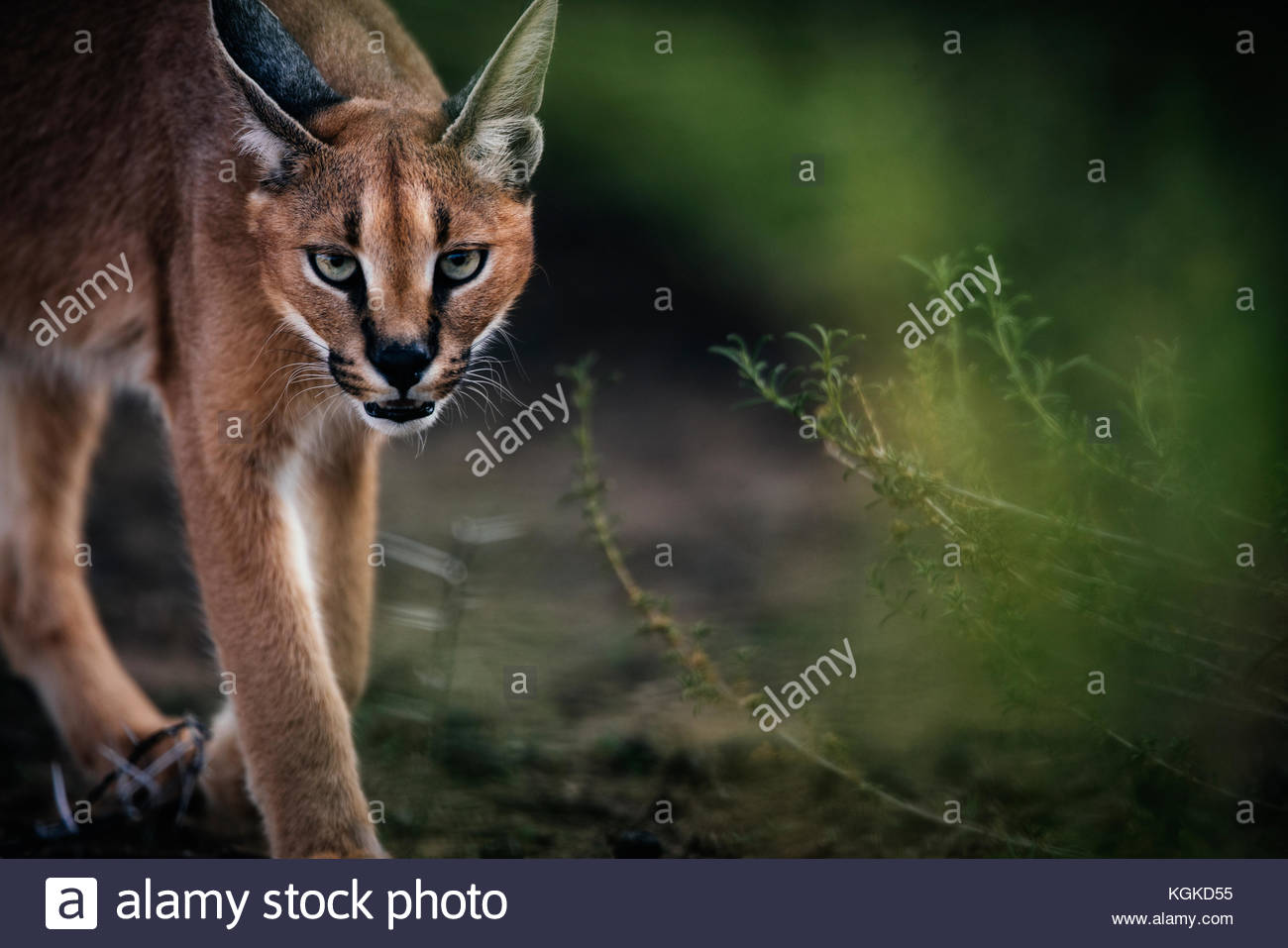 Portrait of a caracal, Caracal caracal, walking across branches. - Stock Image