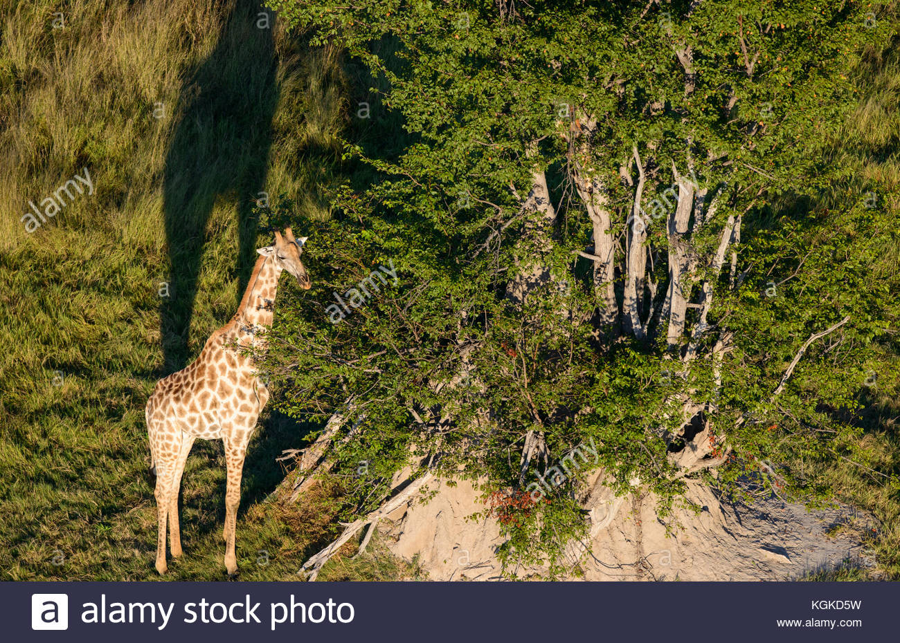 An aerial view of a giraffe. - Stock Image