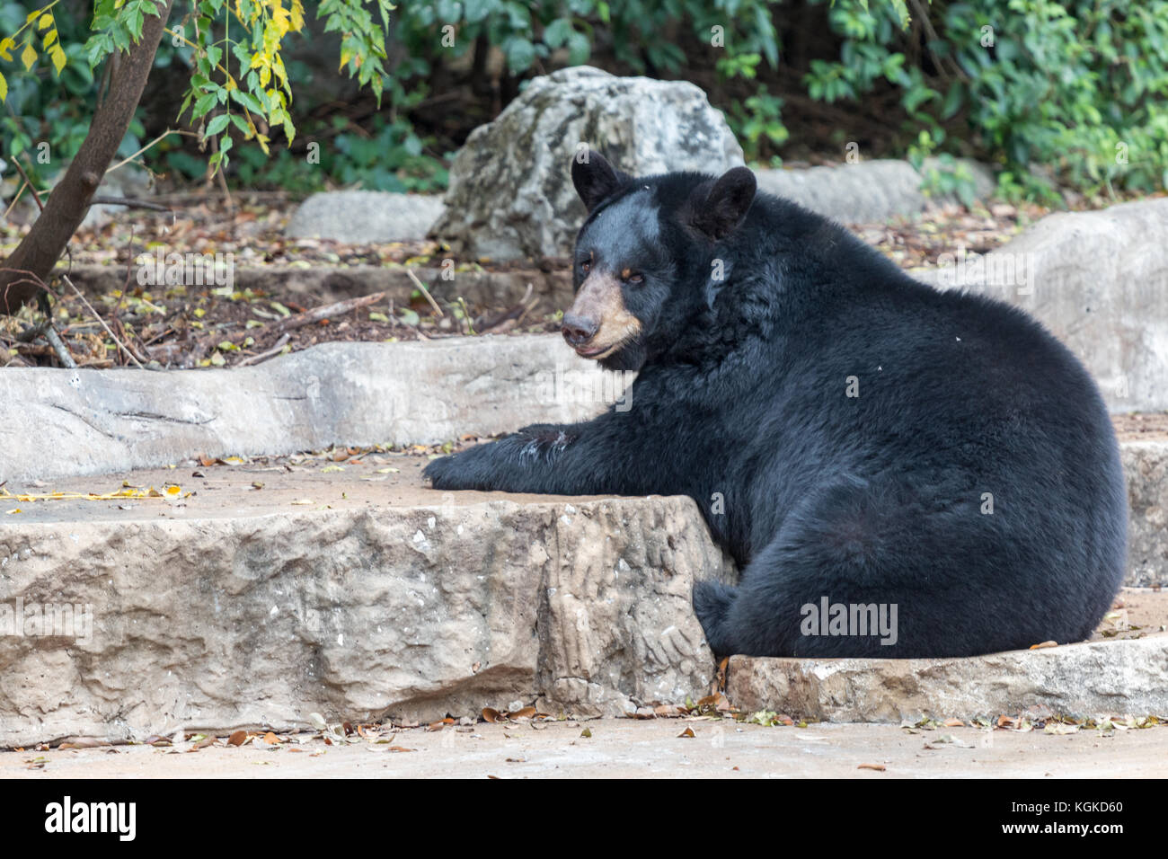American Black Bear Sitting on Ground and Looking at Camera - Stock Image