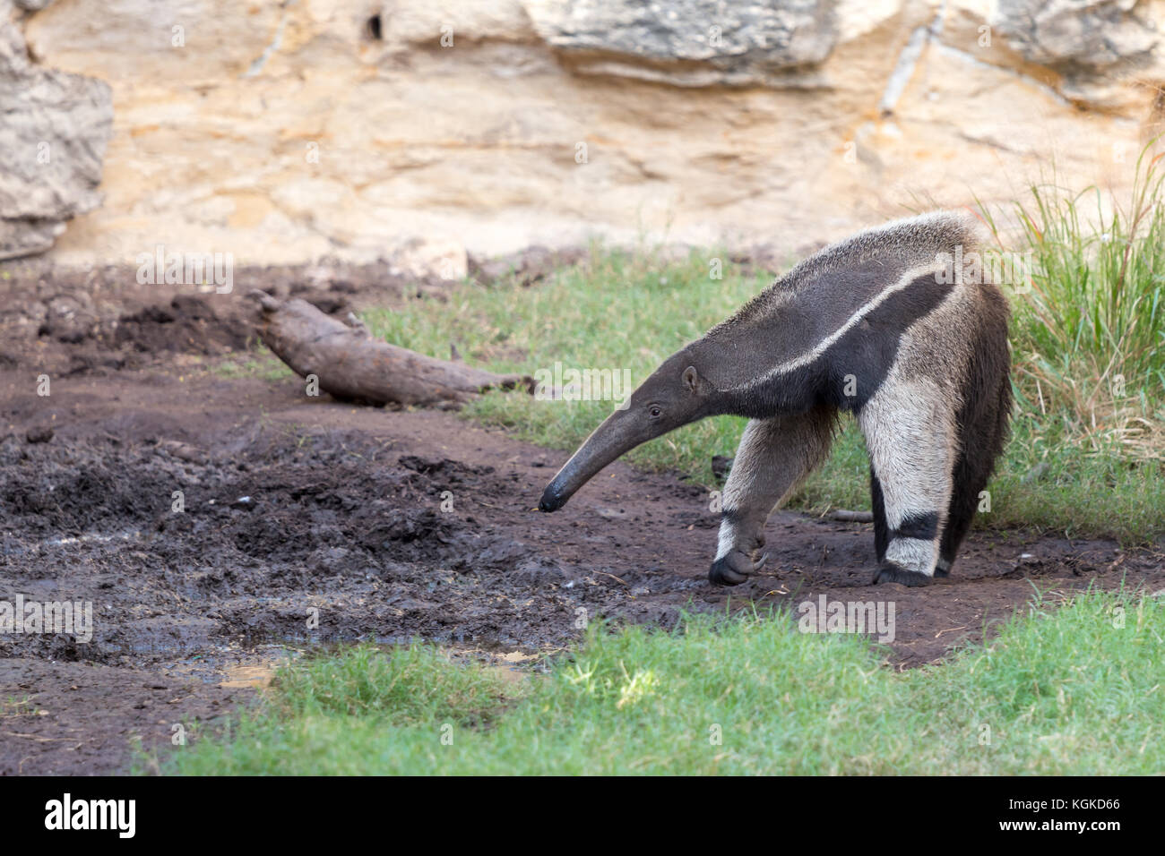 Anteater Looking for Food - Stock Image