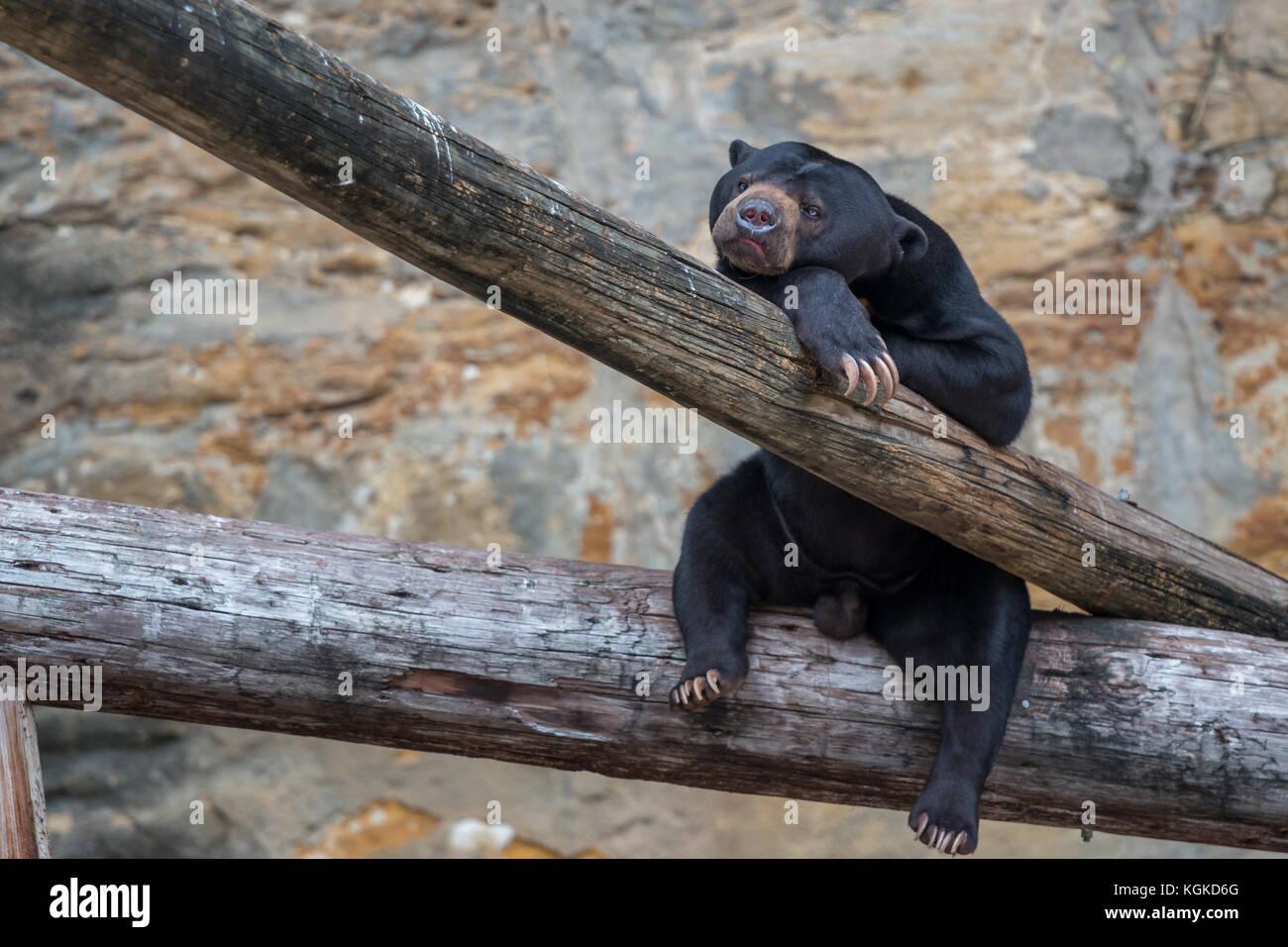 Black Bear Cub Resting on Tree Trunk - Stock Image