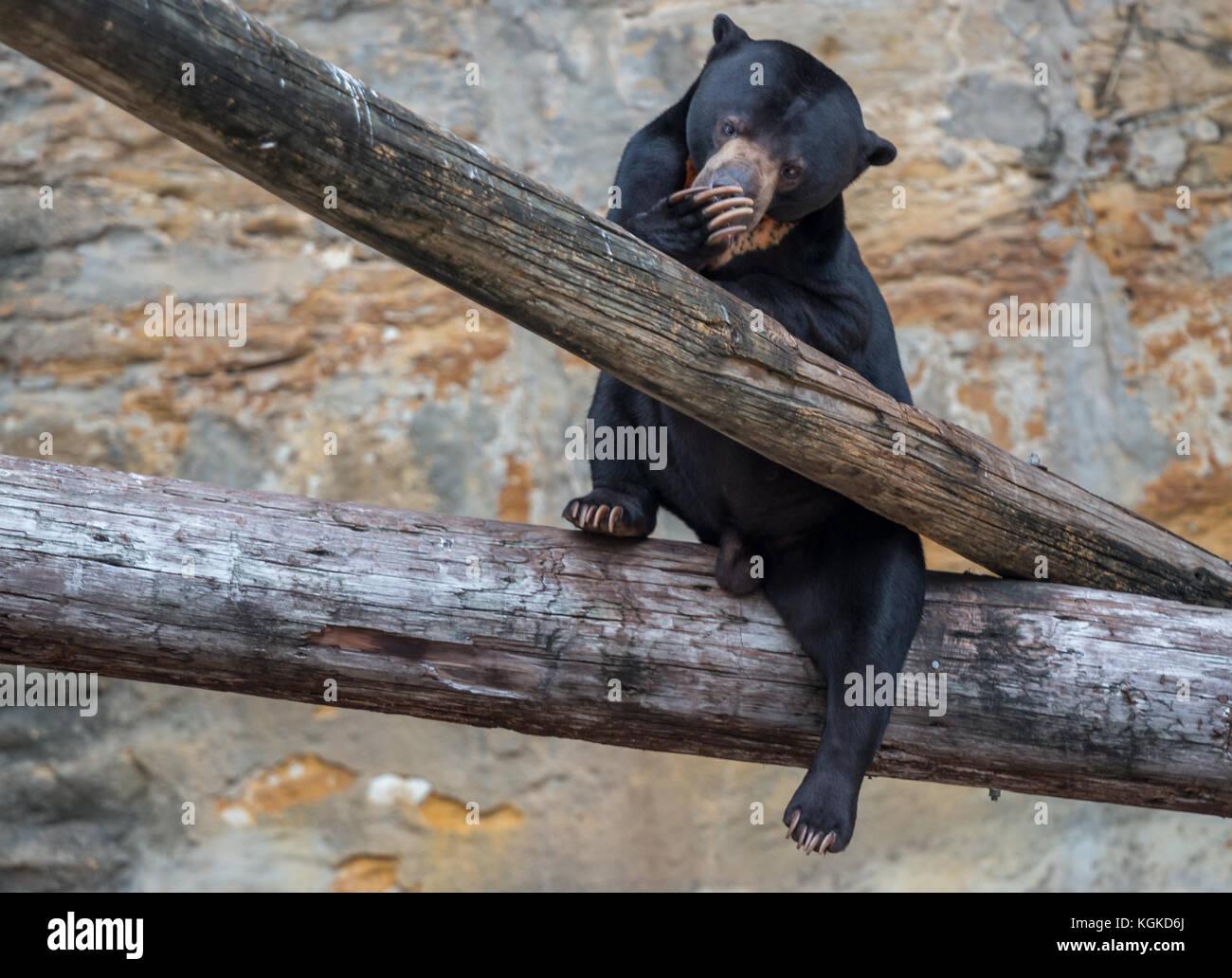 Black Bear Cub Sitting on Tree Trunk - Stock Image