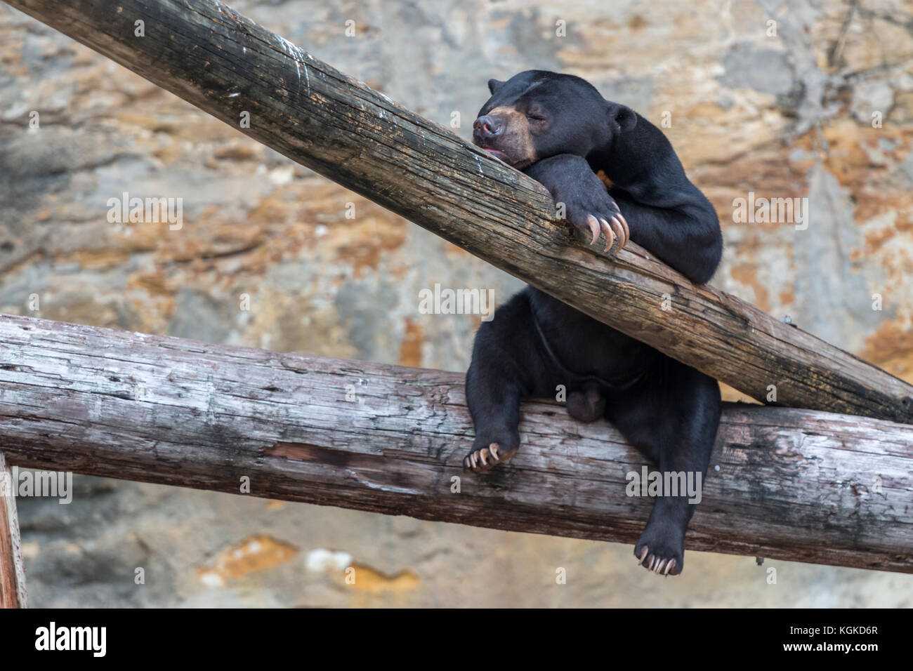 Black Bear Cub with Head Resting on Tree and Eyes Closed - Stock Image