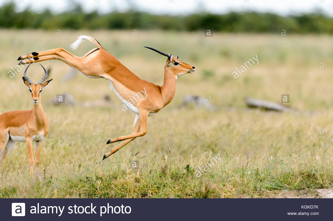 An impala, Aepyceros melampus, leaps in mid air. - Stock Image