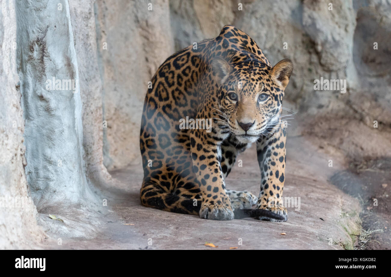 Leopard Cub Aproaching Slowly - Stock Image