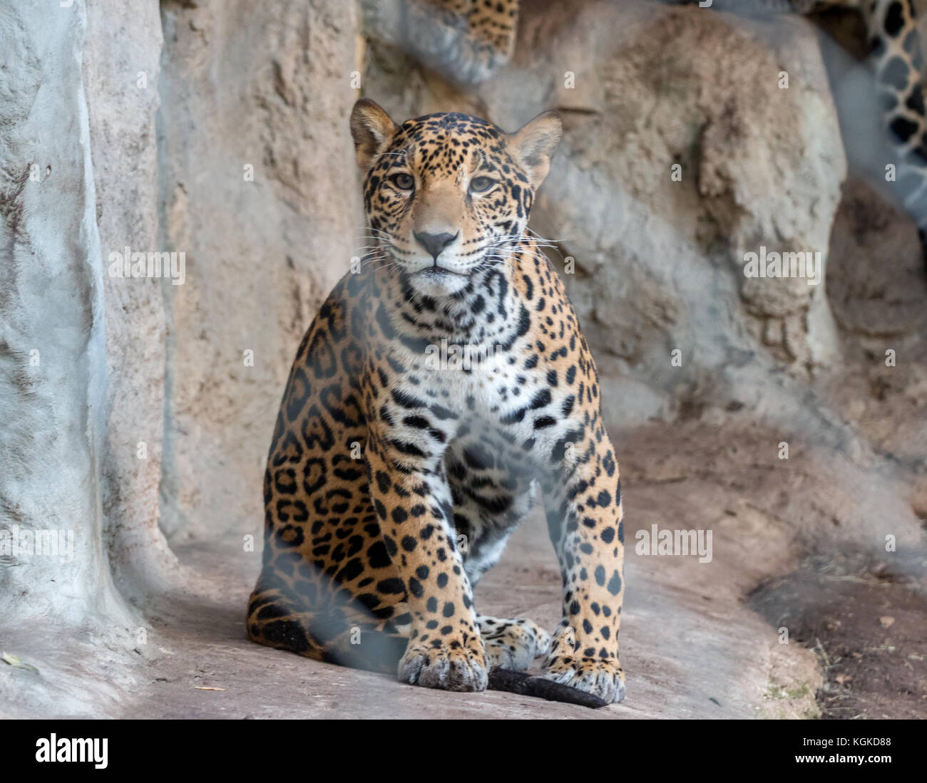 Small Leopard Looking Straight at the Camera - Stock Image