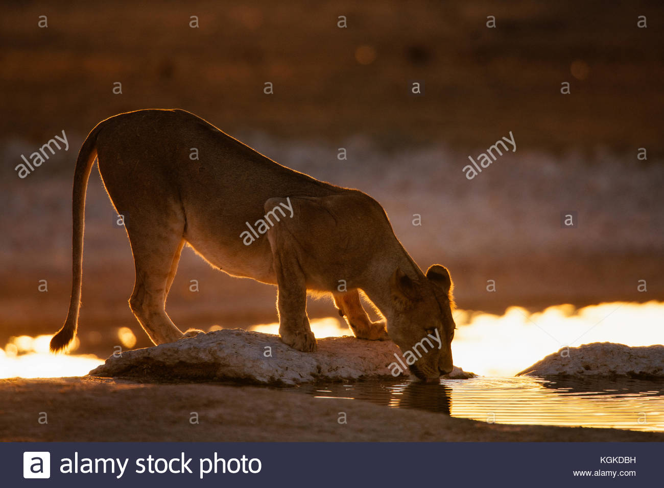 A lioness, Panthera leo, drinking at a waterhole at sunrise. Stock Photo