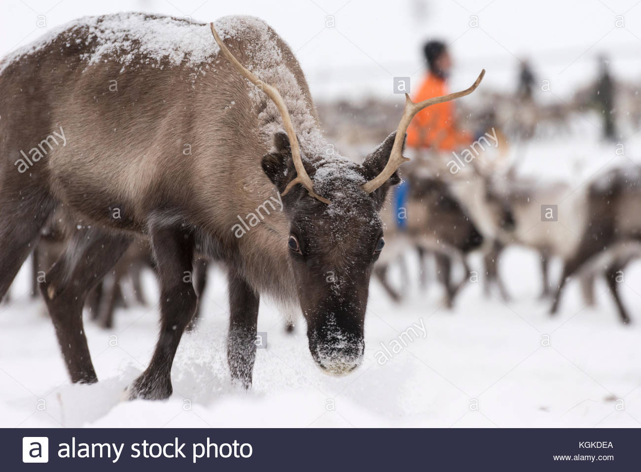 Portrait of domesticated Reindeer, Rangifer tarandus, herd gathered in an enclosure. - Stock Image
