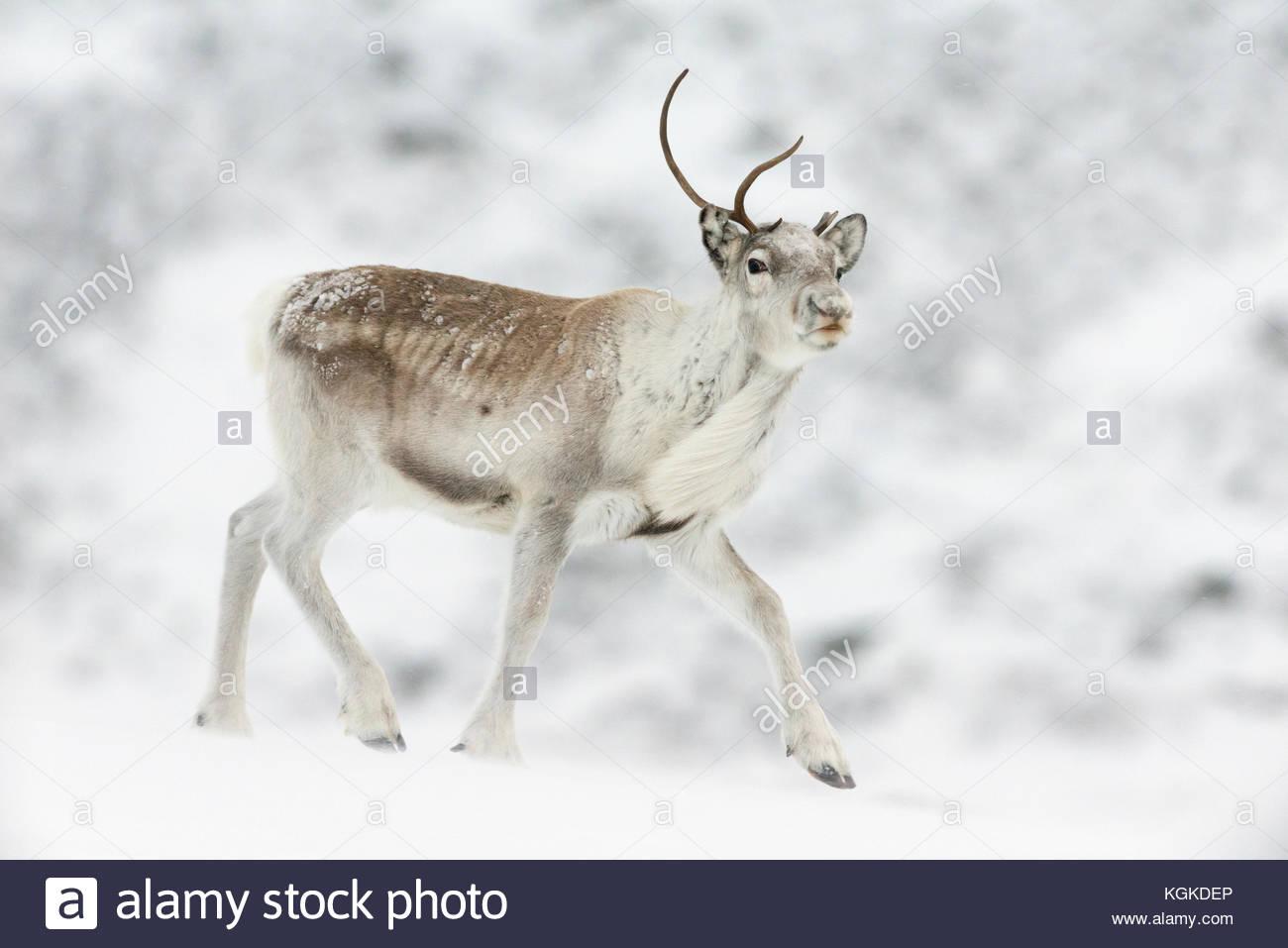 Semi-domesticated Reindeer, Rangifer tarandus, in snow. - Stock Image