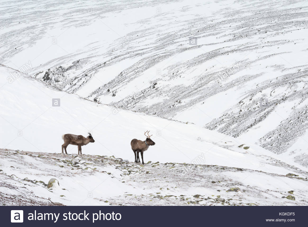 Two Semi-domesticated Reindeer, Rangifer tarandus, roaming in snow-covered landscape. - Stock Image