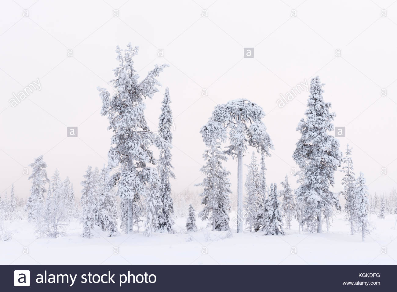 Frozen Norway spruce, Picea abies, and Scots pine, Pinus sylvestris, trees in winter. - Stock Image