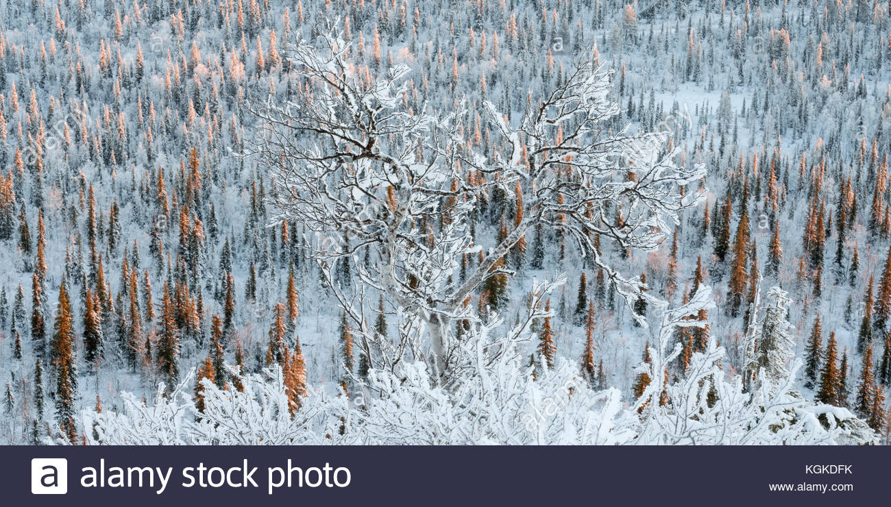 Frost and snow covered Norway spruce, Picea abies, forest. Stock Photo