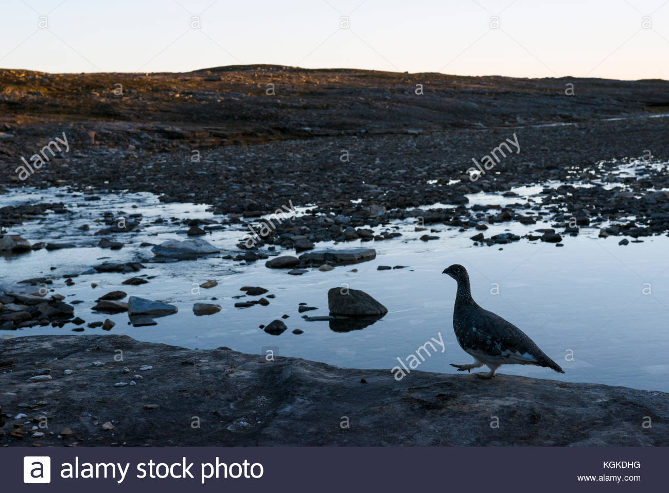 Rock ptarmigan, Lagopus muta, in late evening light by a small river. - Stock Image