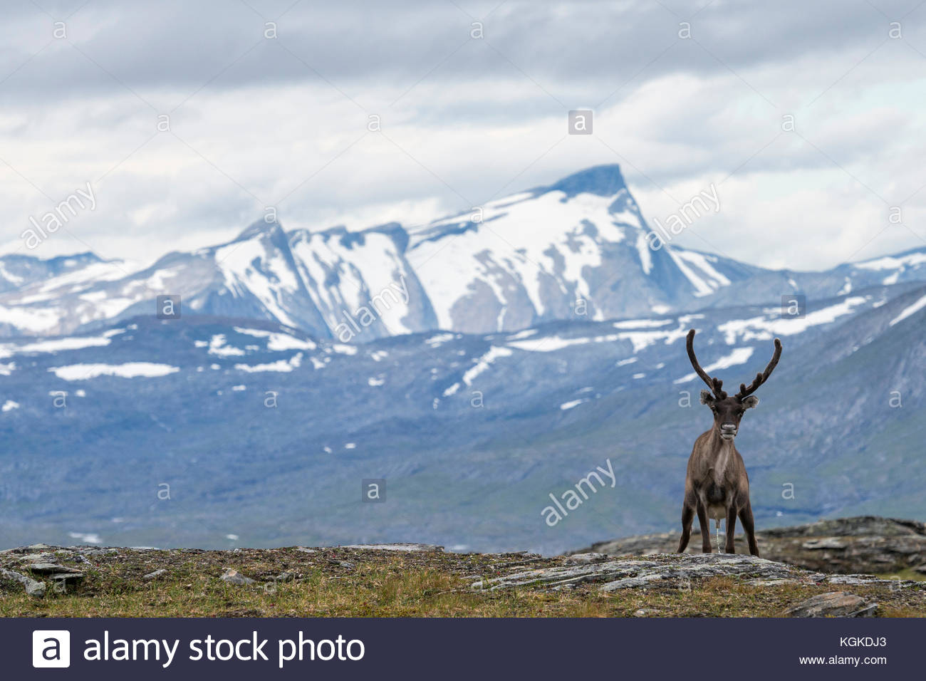 Semi-domesticated reindeer, Rangifer tarandus, in Padjelanta National Park. - Stock Image